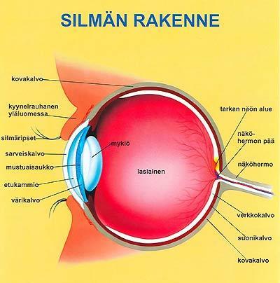 Silmän rakenne piirroskuvana.