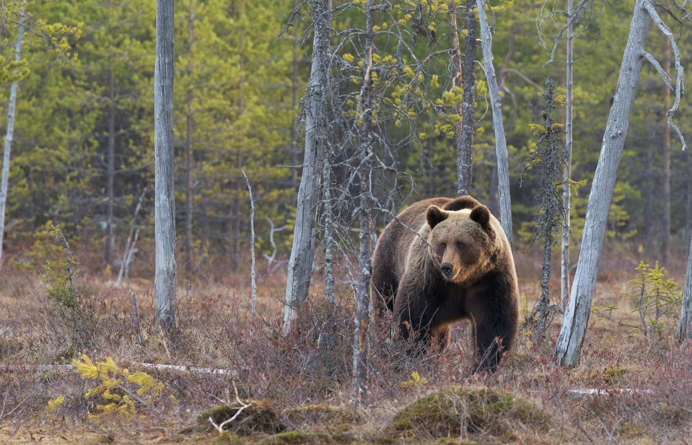 Karhu kävelee metsäaukealla kohti kameraa.