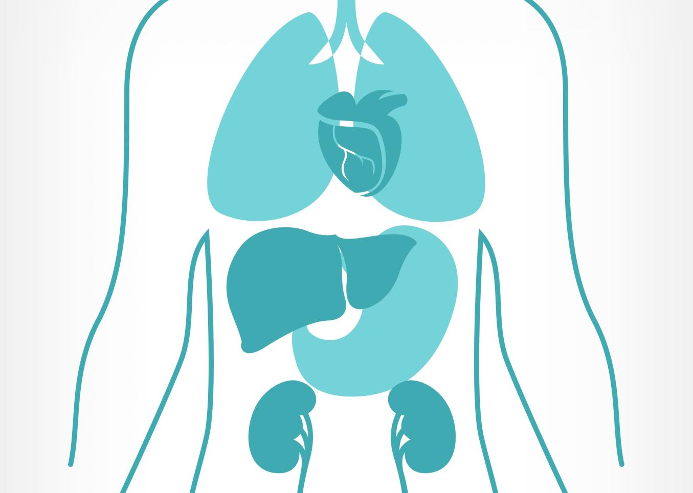 Piirroskuva, jossa on havainnollistettu ihmisen sisäelimiä ja niiden sijaintia ylävartalossa.