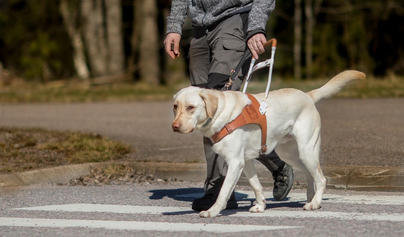 keltainen labradori opastaa käyttäjää suojatien yli
