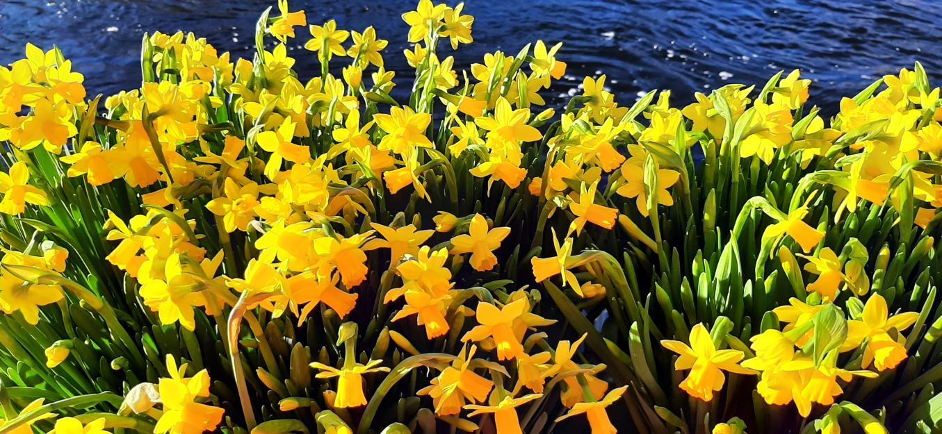 Keltaiset narsissit Tammerkosken rannalla.