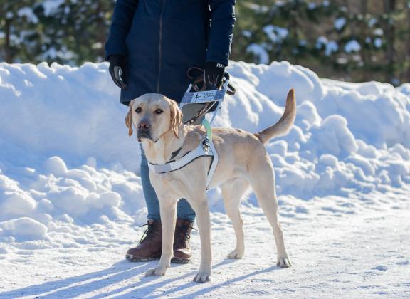 keltainen labradori seisoo valjaat päällään lumisessa maisemassa.
