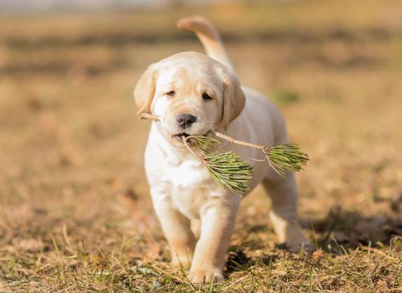 keltainen labradoripentu tulee kohti kuvaajaa männynoksa suussaan