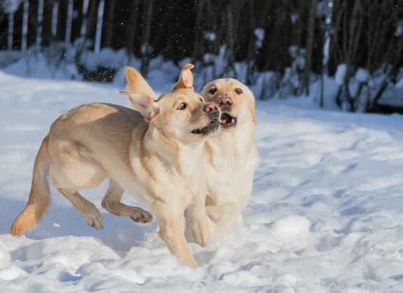 kaksi keltaista labradoria leikkii lumihangessa
