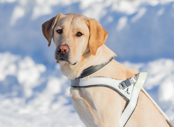 keltainen labradori istuu valjaat päällään lumisessa maisemassa ja katsoo kameraan