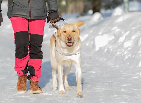 keltainen labradori opastaa valjaat yllään ja kulkee kohti kuvaajaa